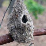 гнездо ремеза